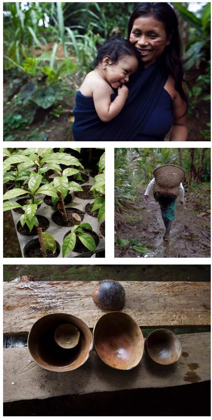 AMATEA Guayusa Extract Growing